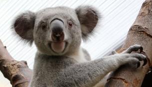 Zoo Dresden: Koala Iraga