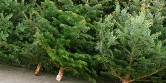 weihnachtsbaum kostenlos entsorgen 105 sammelpl tze bis 11 januar menschen in dresden. Black Bedroom Furniture Sets. Home Design Ideas