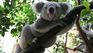 Koala Mullaya