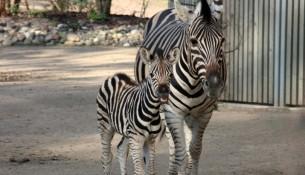 Zebra Nachwuchs Uhalia