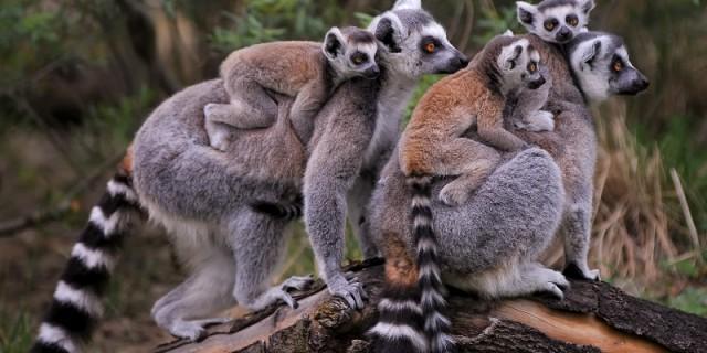 Der Dresdner Zoo hat seine Katta-Gruppe abgegeben und will nun Mohrenmakis züchten. Foto: Zoo Dresden